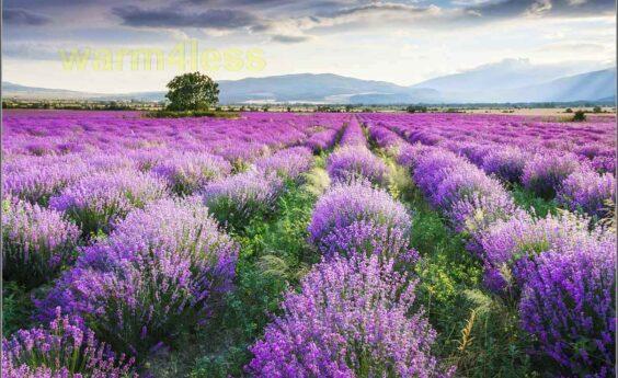 960 Watts Lavender Field Panel